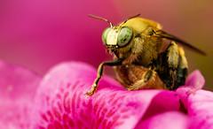 Stuck (Macromanic) Tags: bee macro rhododendron wingwednesday hww