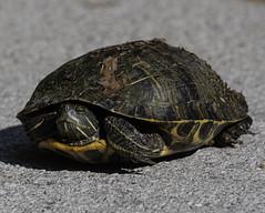 Turtle_SAF3069-1 (sara97) Tags: copyright©2019saraannefinke loneelkpark missouri nature photobysaraannefinke saintlouis turtle wildlife