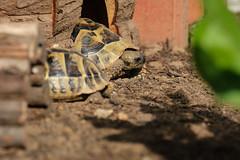 Pauli und Puki (G_Albrecht) Tags: reptilia testudohermanni griechischelandschildkröte landschildkröte reptil schildkroete tier umwelt