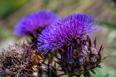 Thistle (agasfer) Tags: 2019 southcarolina greenville roppermountainsciencecenter flowers sony a6000 sonye1850oss