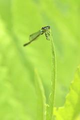 Damselfly (cheryl.rose83) Tags: insect damselfly odonata
