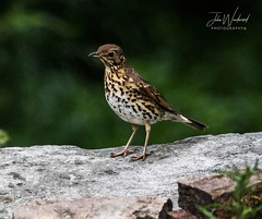 Song Thrush (John Woodward Photography) Tags: songthrush birds nature natureatitsbest mothernature canon canondslr canoneos canon5dmarkiv llenses