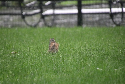 Wet Squirrels in Washington Square Park (New York City) - June 18th, 2019