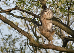 Here I go!! Great Horned Owlet (16) (Estrada77) Tags: greathornedowl owl owlets raptors distinguishedraptors birdsofprey perched wildlife birds birding may2019 spring2019 outdoors nature nikon nikond500200500mm