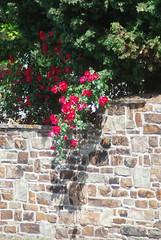 Gott Vater, Sohn und Heilger Gei (amras_de) Tags: mauer eltville rheingau muur paret zed væg wall muro pared seinä mur balla zid fal veggur atitvara siena vegg muru waw duvar rose rosen ruža rosa ruže rozo roos arrosa ruusut rós rózsa rože rozes rozen roser róza trandafir vrtnica rossläktet gül blüte blume flor cvijet kvet blomst flower floro õis lore kukka fleur bláth virág blóm fiore flos žiedas zieds bloem blome kwiat floare ciuri flouer cvet blomma çiçek