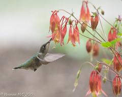 Hummingbirds always welcome (SF knitter) Tags: illinois lakecounty rubythroatedhummingbird bird garden hummingbird