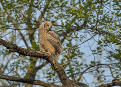 That was a big jump!! Great Horned Owlet (41) (Estrada77) Tags: greathornedowl owl owlets raptors distinguishedraptors birdsofprey perched wildlife birds birding may2019 spring2019 outdoors nature nikon nikond500200500mm