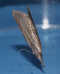 Croc snout moth Hypena sp aff obacerralis Hypeninae Erebidae Noctuoidea Mandalay rainforest Airlie Beach P1080119 (Steve & Alison1) Tags: croc snout moth hypena sp aff obacerralis hypeninae erebidae noctuoidea mandalay rainforest airlie beach