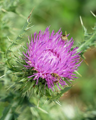 thistle and bees (foxtail_1) Tags: panasonicg85 panasoniclumixg85 flowers thistle bee