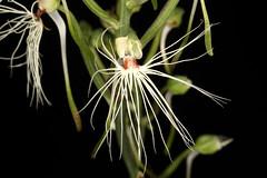 Habenaria medusa 2019-06-10 01 (JVinOZ) Tags: orchid orchidspecies habenaria terrestrialorchid