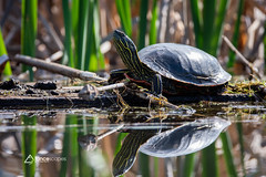 Sittin in the morning sun (lancescapes photography) Tags: nature wildlife animals turtle reflection water idaho
