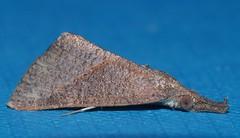 Croc snout moth Hypena sp aff obacerralis Hypeninae Erebidae Noctuoidea Mandalay rainforest Airlie Beach P1080242 (Steve & Alison1) Tags: croc snout moth hypena sp aff obacerralis hypeninae erebidae noctuoidea mandalay rainforest airlie beach