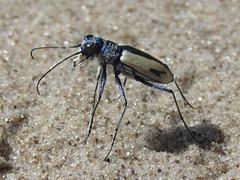 Cicindela limbata limbata, male (tigerbeatlefreak) Tags: cicindela limbata insect tiger beetle coleoptera cicindelidae nebraska