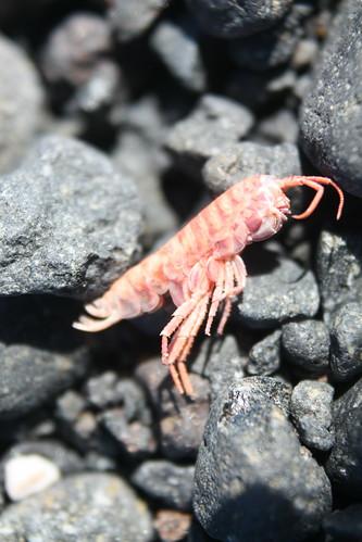 Shrimp Shell