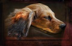 Dachshund sleeping (Marco Réardon Photography) Tags: dachshund sleeping teckel dort dackel chien dog golden longhair poil long endormi asleep closeup head texture animal closed eyes