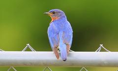 eastern bluebird male at Old Stone Church IA 653A2431 (naturalist@winneshiekwild.com) Tags: eastern bluebird male old stone church historic landmark winneshiek county iowa larry reis