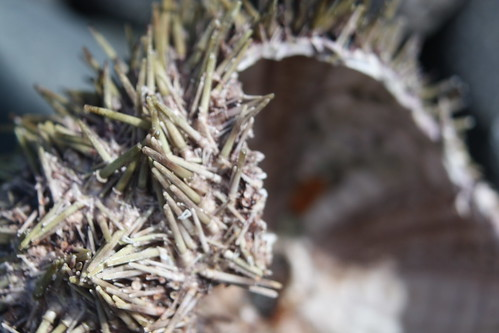 Urchin Shell