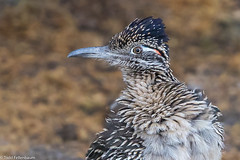 CA3I4435-Greater Roadrunner (tfells) Tags: greaterroadrunner bird cuckoo arizona sweetwaterwetlands wildlife nature geococcyxcalifornianus