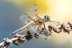 Vierfleck Libelle - Libellula quadrimaculata (marco.federmann) Tags: vierfleck libelle vierflecklibelle libellula quadrimaculata natur insekt