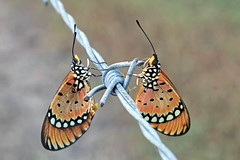 Barbed wire butterflies (aussiegypsy_Katherine, NT) Tags: tawnycoster butterfly acraeaterpsicore nymphalidae lepidoptera bright orange blackdots insect wild wildlife top side wings open spread grass australia australian aussie aussiegypsy lorraineharris nt northernterritory topend migrant small tiny katherine emungalan northern nature outdoors tropics tropical dryseason backyard garden grassland pastures pair male female introducedspecies