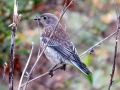 Western Bluebird (Kelson) Tags: birds madronamarsh nature bluebird westernbluebird