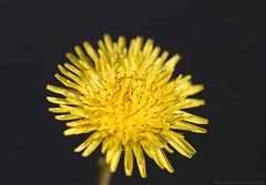 Catsear (Rick & Bart) Tags: flower macro nature flora tuin herb catsear hypochaerisradicata gewoonbiggenkruid canon garden rickbart rickvink eos70d