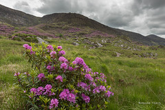 Rhododendrons in Bloom (brendatharp) Tags: blackvalley landscape nopeople ireland blossoms greatbritain mountains rhododendron clouds countykerry plant invasive fields blooming emeraldisle scene cloudyday flowers