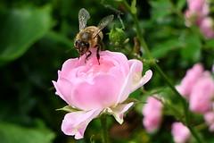 Looks Good! (ivlys) Tags: darmstadt garten minigarden rose rosa pink blume flower biene bee insekt insect natur nature ivlys