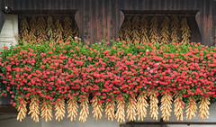 Geraniums and Dried Corn on House, Slovenia. (brendatharp) Tags: flowers vibrant dried picturesque flowerboxes corn slovenia quaint geraniums selo slovenian scene barn village architecture farmhouse nobody europe hanging traditional building farm