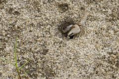 Great Island Fiddler Crabs (brucetopher) Tags: park sea ocean coast coastal saltmarsh marsh wetland beach fiddler crab fiddlercrab creature seacreature invertebrate sand shell claw male fiddle sideways crawl crawly pinch