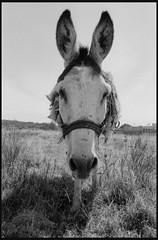 Hi There! (Taly Tatsy) Tags: nikon nikonf3 trix400 film blackandwhite mexico donkey analog argentique filmphoto 35mm kodak