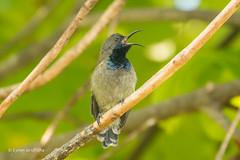 Seychelles Sunbird 501_8884.jpg (Mobile Lynn) Tags: seychellessunbird birds sunbirds nature bird fauna seychelloiscreole sunbird wildlife seychelles coth specanimal
