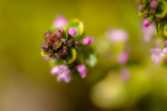 Thyme-less (tonguedevil) Tags: outdoor outside countryside spring nature garden herb flowers thyme colour light shadows sunlight fuji green