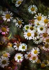 Erigeron (judy dean) Tags: garden seasidedaisy flowers sweet judydean daisy erigeron 2019 textured white 365the2019edition 3652019 day167365 16jun19