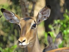 Good Morning!  ( Impala ) (Pixi2011) Tags: antelope krugernationalpark southafrica africa wildlifeafrica wildanimals animals nature