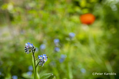 Vergissmeinnicht / forget-me-not (peterkaroblis) Tags: garten garden blume flower makro pflanze blau blue vergissmeinnicht forgetmenot myosotis