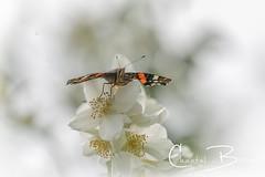 Atalanta (Chantal van Breugel) Tags: atalanta vlinder macro boerenjasmijn juni 2019 canon5dmark111 canon70300