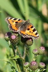 Aglais urticae - Kleine vos - Small Tortoiseshell (Waverhoek NL) (Christian van de Ven) Tags: vlinder butterfly schmetterling mariposa papillon