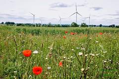 In harmony... (fionarosegunn) Tags: summer northamptonshire landscape countryside turbines wheat wildflowers poppy