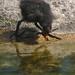 2018-05-20 AT Wien 13 Hietzing, Tiergarten Schönbrunn, Gallinula chloropus