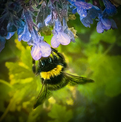 Bumble on Nepeta (judy dean) Tags: garden catmint judydean flowers 2019 bee bumble insect nepeta blue 365the2019edition 3652019 day170365 19jun19