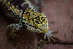 Desert Spiny Lizard close up (Stephen G Nelson) Tags: reptile lizard desertspinylizard desert tucson arizona canoneosrebelsl1100d