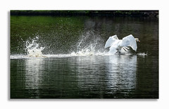 Gone in a splash. (johnhjic) Tags: johnhjic swan green white bird water droplets splash black reflection yellow orange