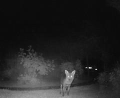Lookin' at you (ART NAHPRO) Tags: fox garden night camera sussex juine 2019