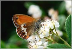 Coenonympha arcania Nymphalidae (riccardomissagia1) Tags: lepidotteri ninfalidae farfalle coenonympha arcania insetti