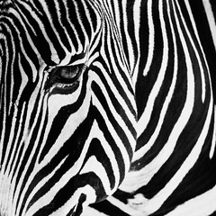 Stripes (Karsten Gieselmann) Tags: 40150mmf28 bavaria em5markii farbe germany mzuiko mc14 microfourthirds monochrome natur olympus saeugetiere schwarz schwarzweis tiere tiergarten tiergartenzoo weis zebra bw black blackwhite color kgiesel m43 mft mono nature sw white zoo nürnberg bayern deutschland