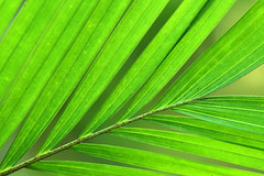Palm Frond (Alan McIntosh Photography) Tags: palm frond leaf green nature light plant litchfield