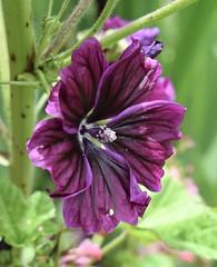 Purple Hibiscus (MJ Harbey) Tags: hibiscus malvaceae rosids malvales malvoideae hibisceae purplehibiscus flower sissinghurstcastlegardens cranbrook kent uk nikon d3300 nikond3300