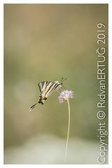 Old World swallowtail / Papilio machaon (R ERTUG) Tags: nikkor200500mmf56eafsed nikond610fx nikonflickraward wildlifephotography birdphotography pelitkoy turkey oldworldswallowtail papiliomachaon naturewatcher ertug rertug