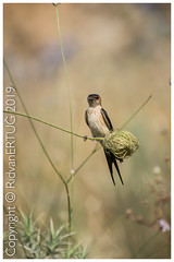 Juvenile Barn swallow / Hirundo rustica (R ERTUG) Tags: nikkor200500mmf56eafsed nikond610fx nikonflickraward wildlifephotography birdphotography pelitkoy turkey juvenilebarnswallow hirundorustica naturewatcher ertug rertug